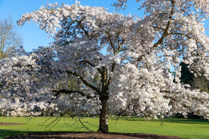 NATURE Cerisier en fleurs